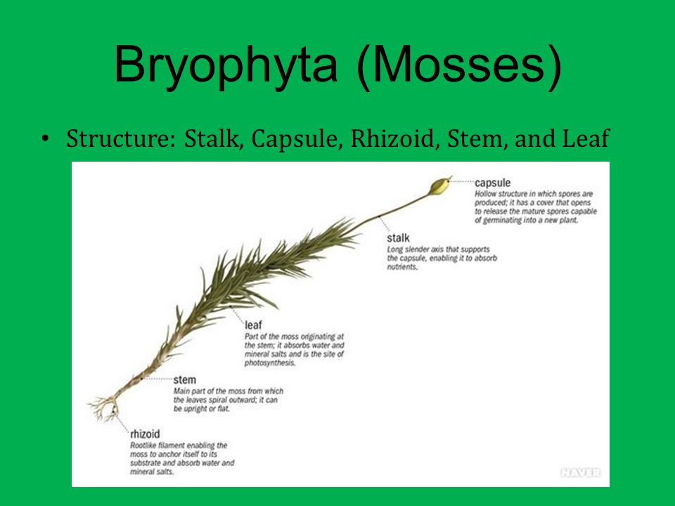 Bryophyta (Mosses) Structure: Stalk, Capsule, Rhizoid, Stem, and Leaf