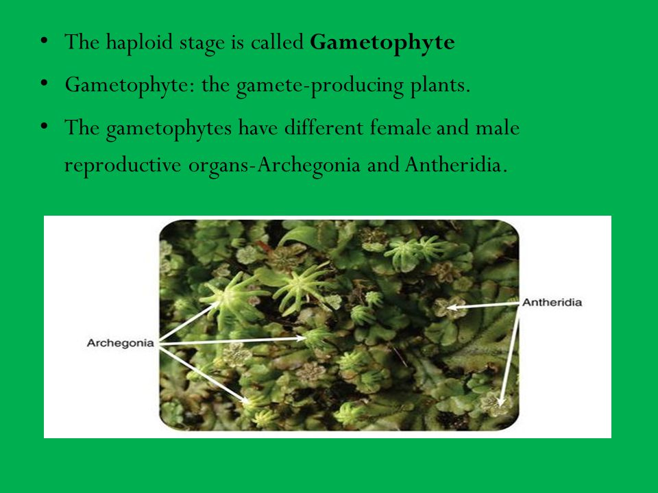 The haploid stage is called Gametophyte