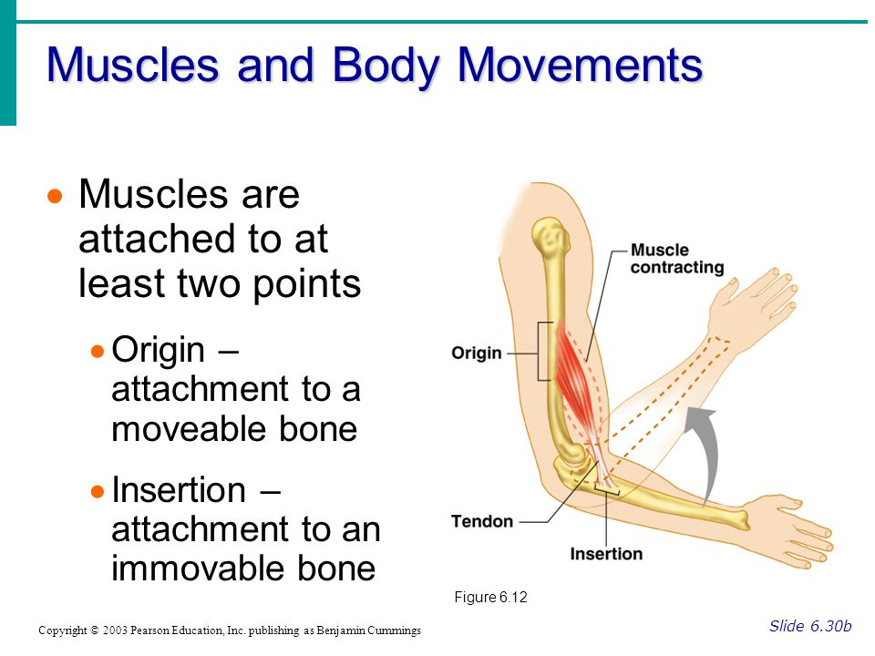 major bones and the muscles attached The thoracic cage is made up of bones and cartilage along with joints and an assortment of muscles and bones and joints in the thoracic attached directly.