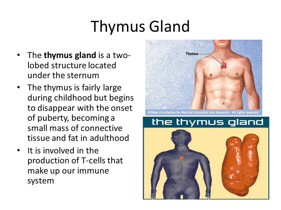 Thymus gland adult mass