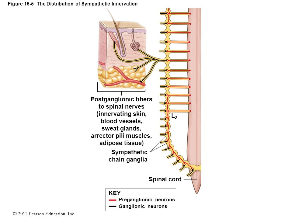 Renal sympathetic nerve, blood flow, and epithelial ...