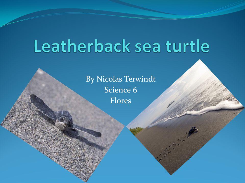 leatherback sea turtle essay