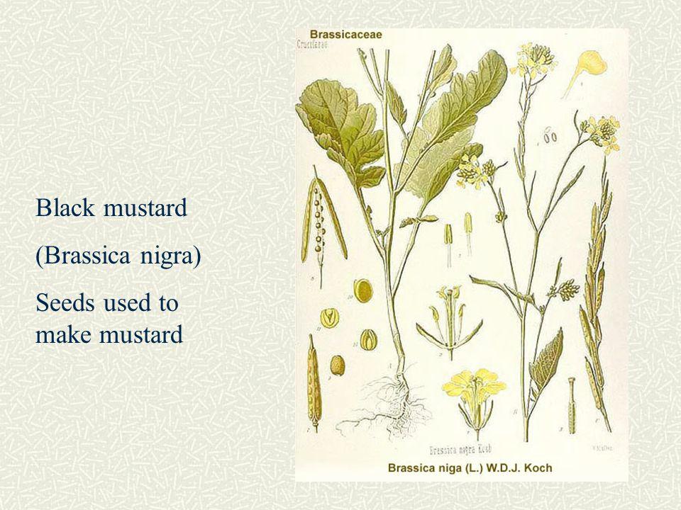 canola brassica napus pdf origin