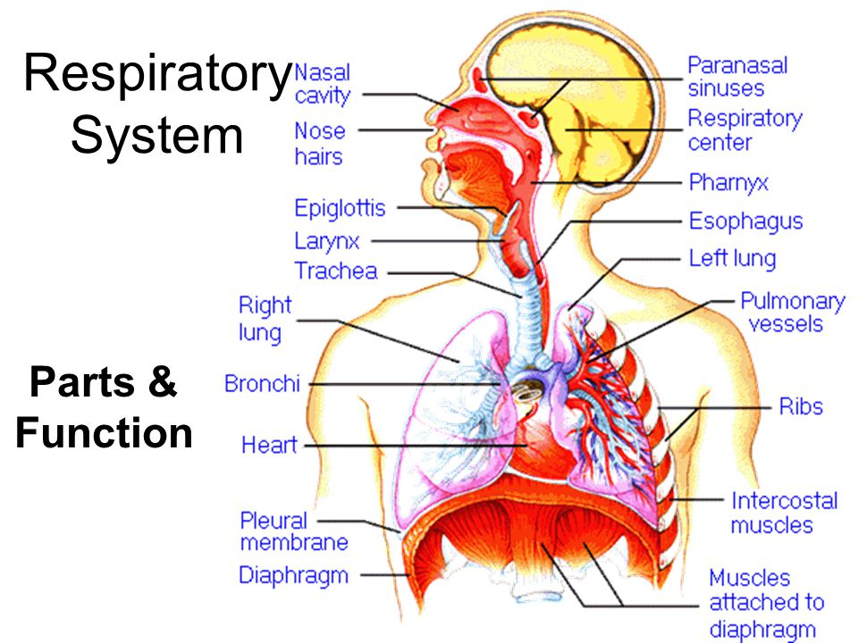Respiratory System Parts Function Ppt Video Online Download