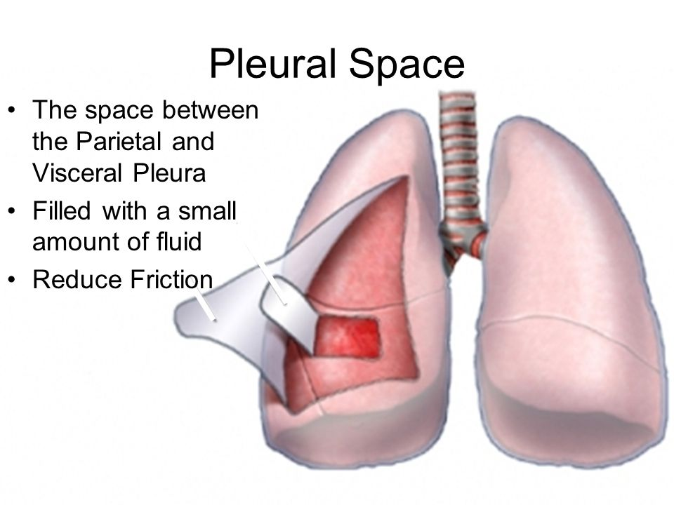 Pleural Space The space between the Parietal and Visceral Pleura