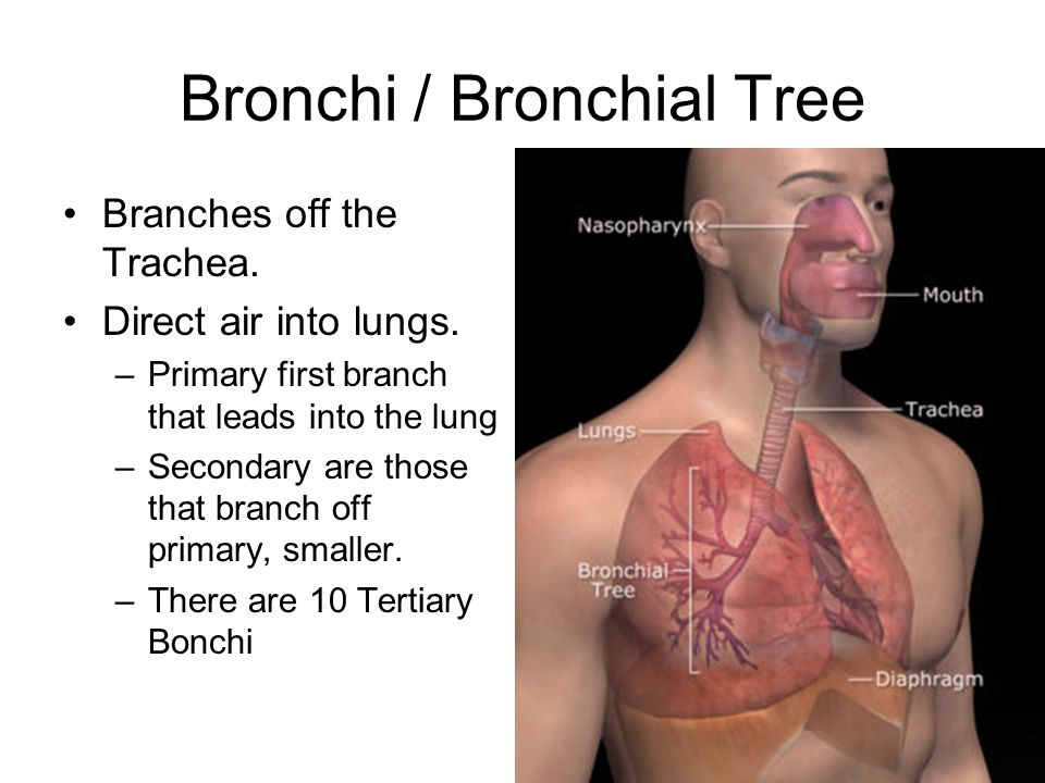 Bronchi / Bronchial Tree