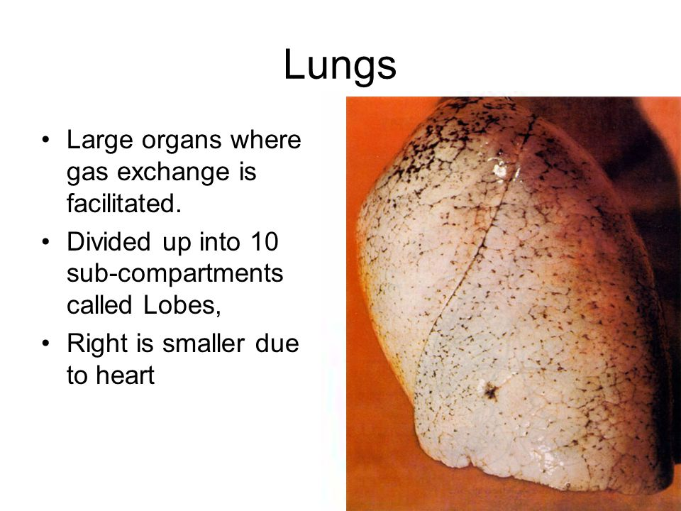 Lungs Large organs where gas exchange is facilitated.