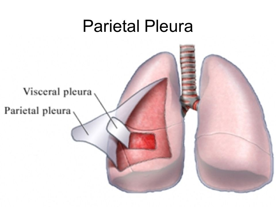 Parietal Pleura The Pleural lining that covers the inside of the chest wall/ribs