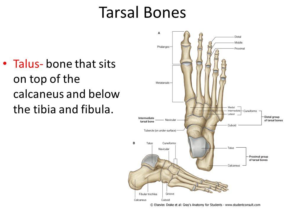 Tarsal Bones | www.imgkid.com - The Image Kid Has It!