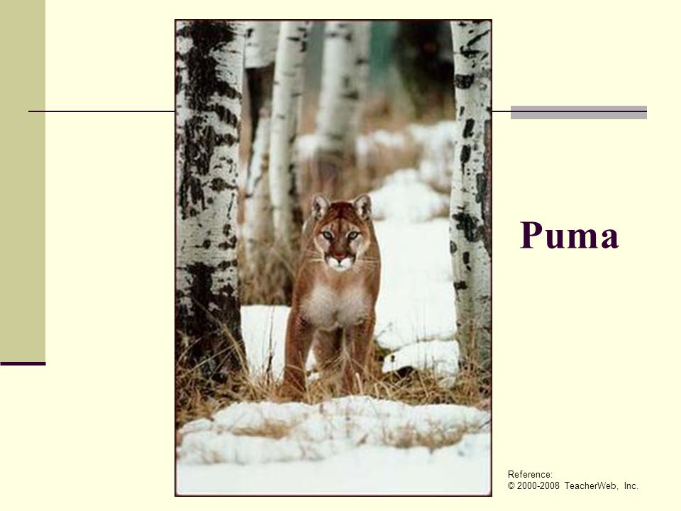 Puma Reference: © 2000-2008 TeacherWeb, Inc.