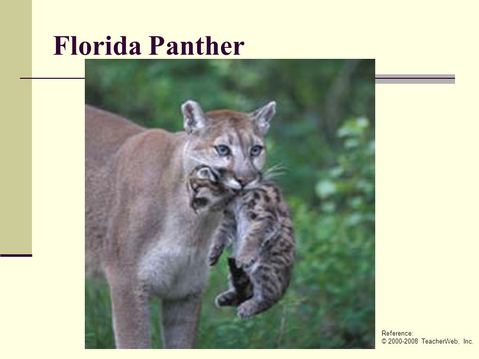Florida Panther Reference: © 2000-2008 TeacherWeb, Inc.