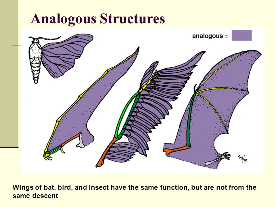 Analogous Structures Wings of bat, bird, and insect have the same function, but are not from the same descent.