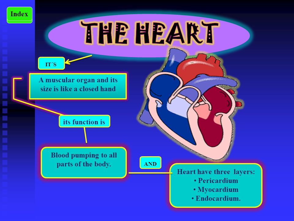 Cardiovascular system ppt video online download the heart its a muscular organ and its size ccuart Images