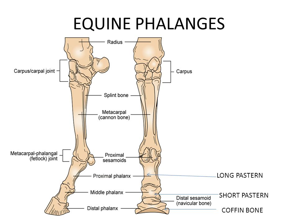 Unique Equine Fetlock Anatomy Elaboration - Human Anatomy Images ...