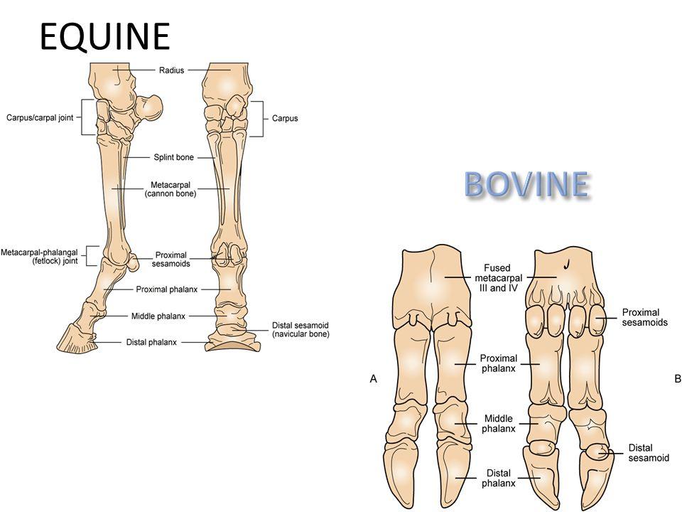 Horse Joints Anatomy Choice Image - human body anatomy