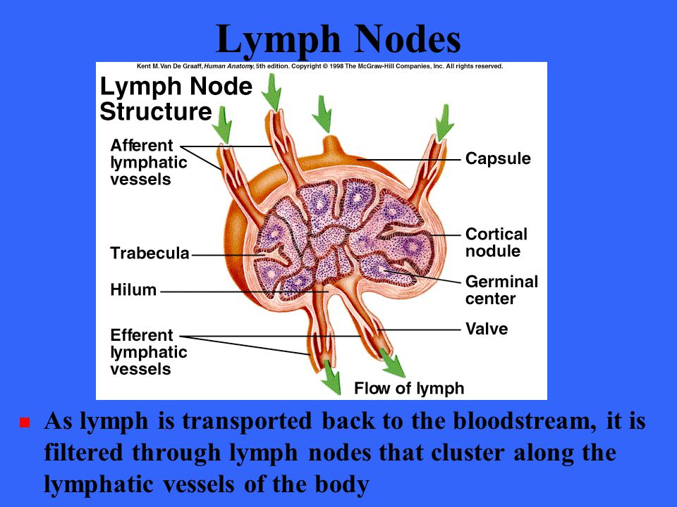 The Lymphatic System Chapter ppt video online download Lymph Nodes Of The Body