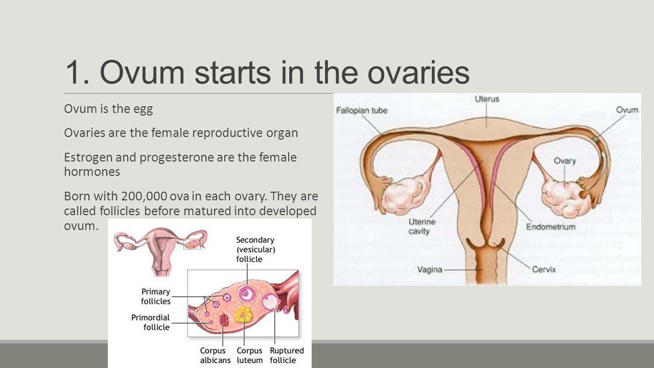 Ovum Female Images - human anatomy organs diagram