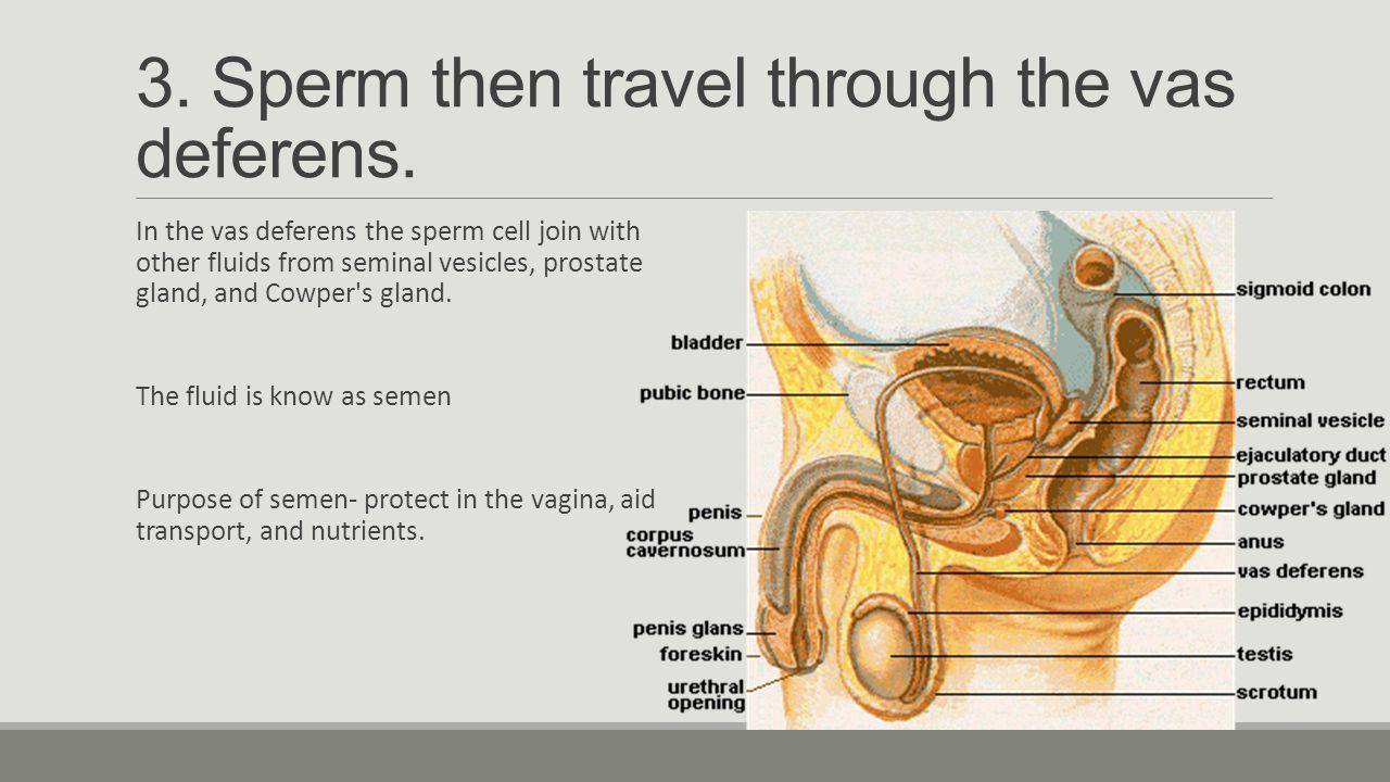User Sex Sperm travel in male