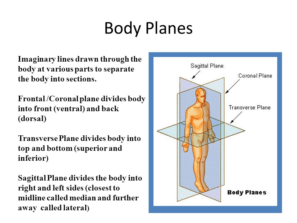 Body Planes Imaginary Lines Drawn Through The Body At Various Parts