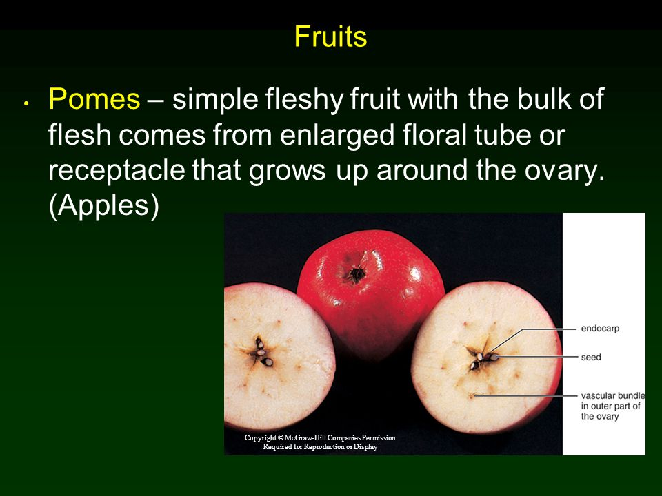 Fruits Pomes – simple fleshy fruit with the bulk of flesh comes from enlarged floral tube or receptacle that grows up around the ovary. (Apples)