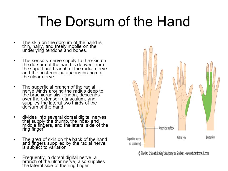 dorsum of hand - Vatoz.atozdevelopment.co