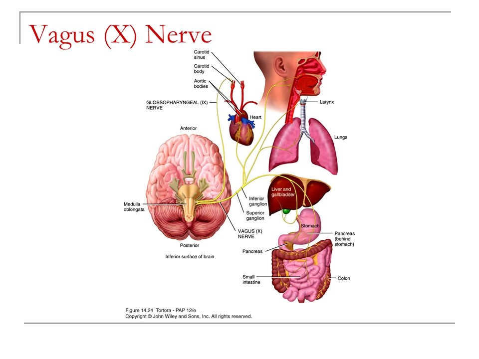 chapter 14 the brain and cranial nerves ppt video