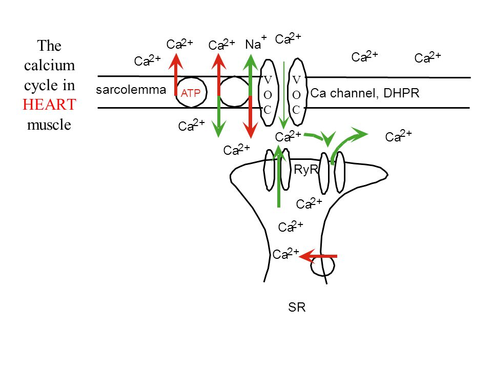 calcium channel blockers - ppt download water cycle fill in diagram calcium cycle diagram in muscle #6
