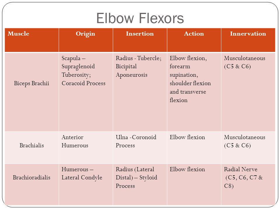 Elbow Flexors Muscle Origin Insertion Action Innervation