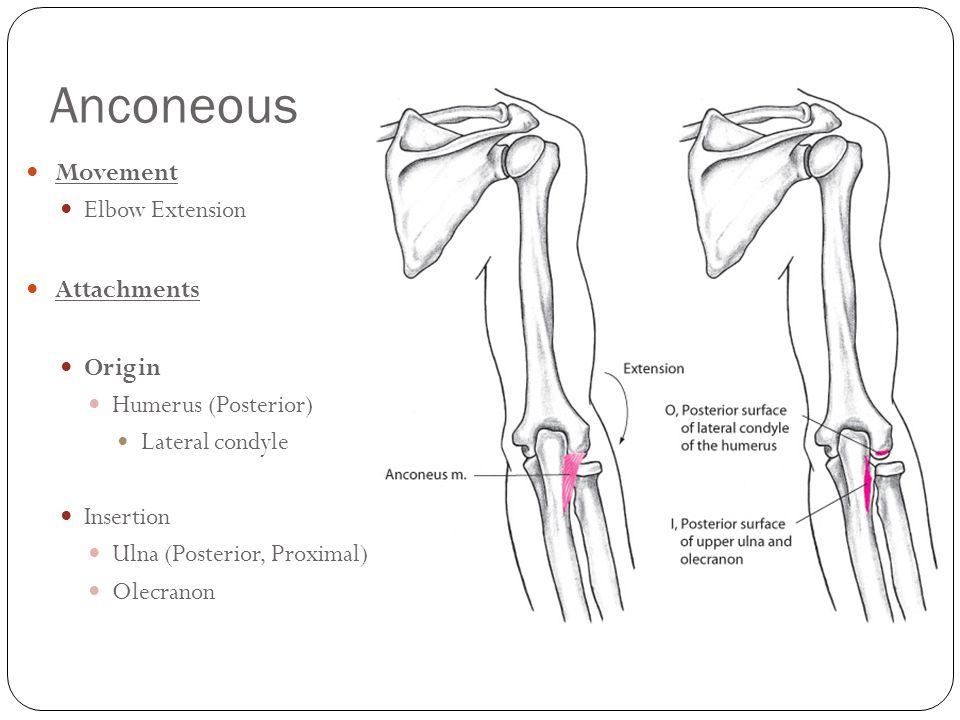 Anconeous Movement Elbow Extension Attachments Origin