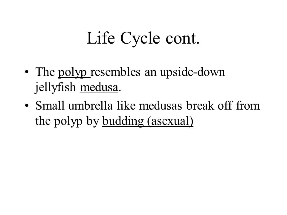 Life Cycle cont. The polyp resembles an upside-down jellyfish medusa.