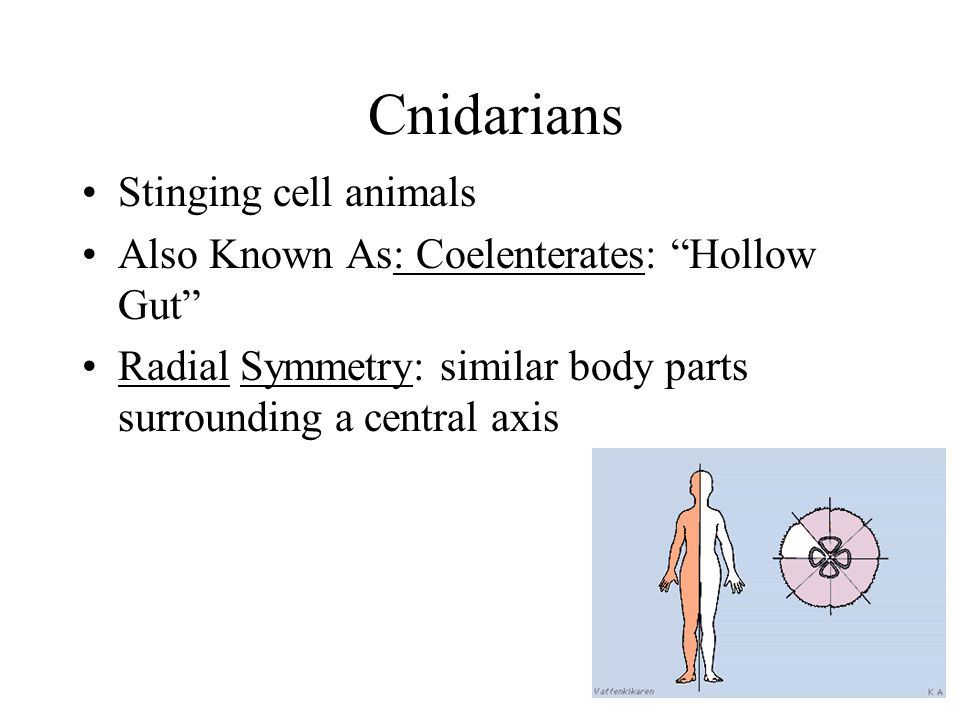 Cnidarians Stinging cell animals