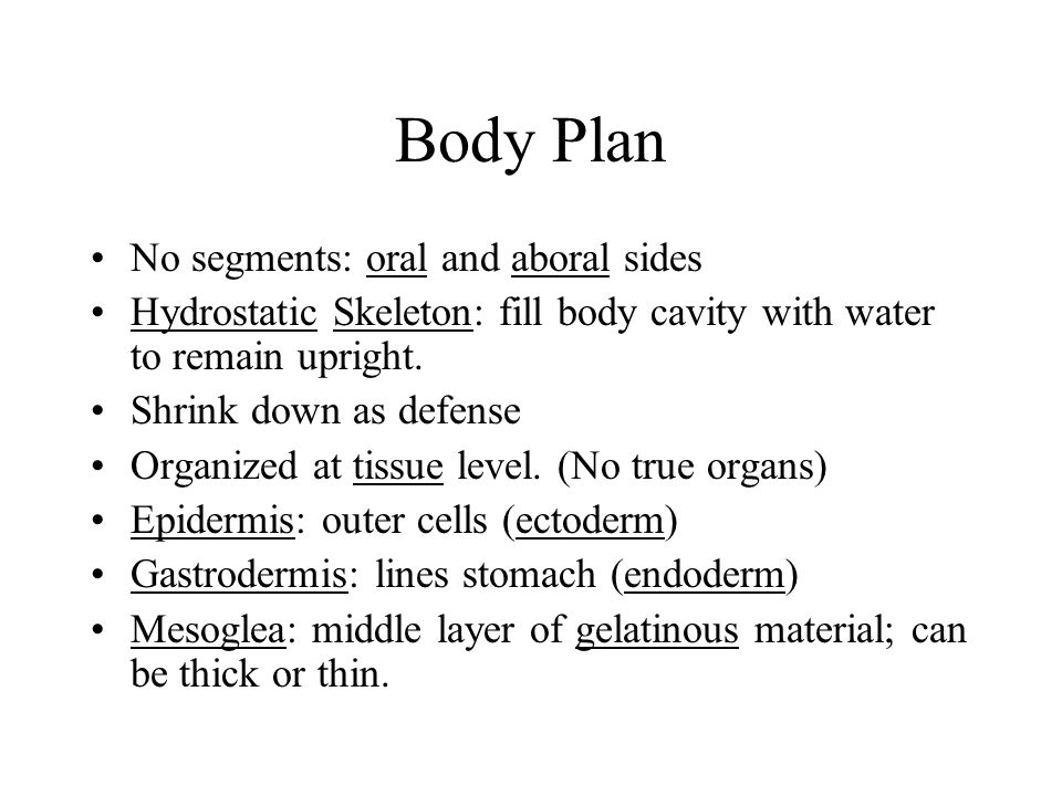 Body Plan No segments: oral and aboral sides