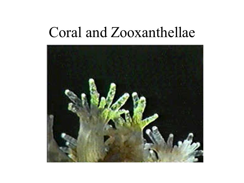Coral and Zooxanthellae