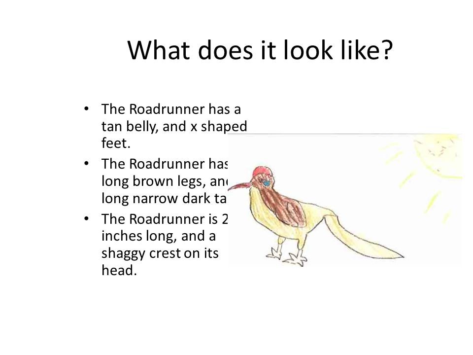 What does it look like The Roadrunner has a tan belly, and x shaped feet. The Roadrunner has long brown legs, and a long narrow dark tail.