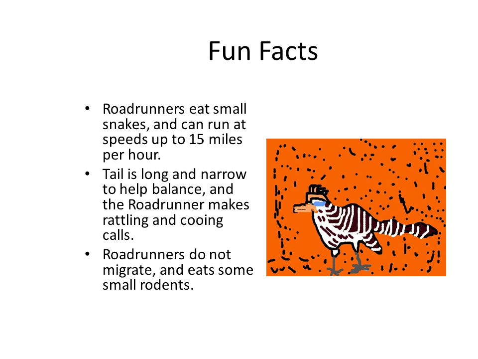 Fun Facts Roadrunners eat small snakes, and can run at speeds up to 15 miles per hour.