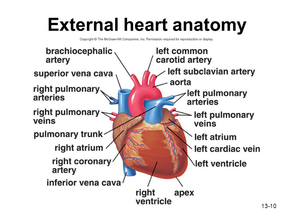 Chapter 13 cardiovascular system ppt download external heart anatomy ccuart Images
