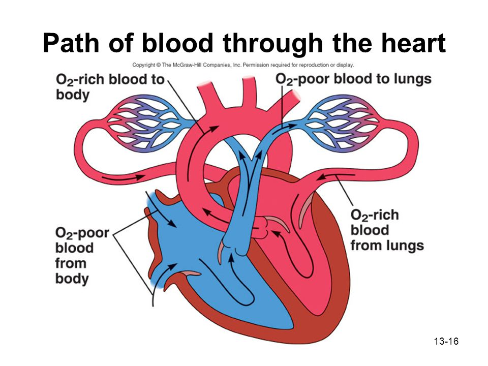 Chapter 13 cardiovascular system ppt download path of blood through the heart ccuart Image collections