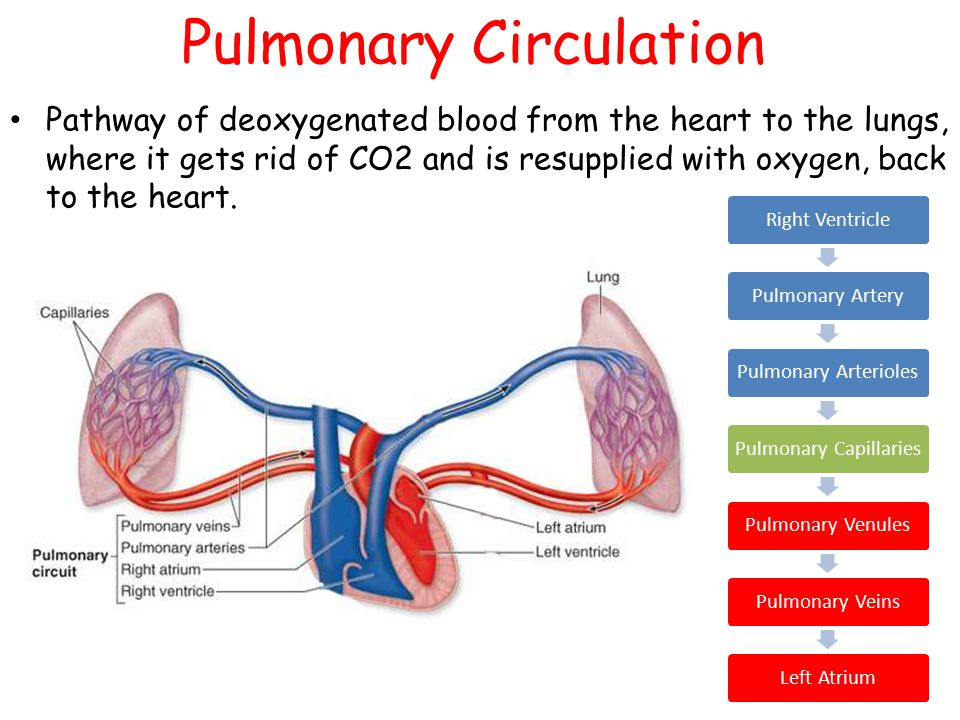 The circulatory system ppt download pulmonary circulation ccuart Images