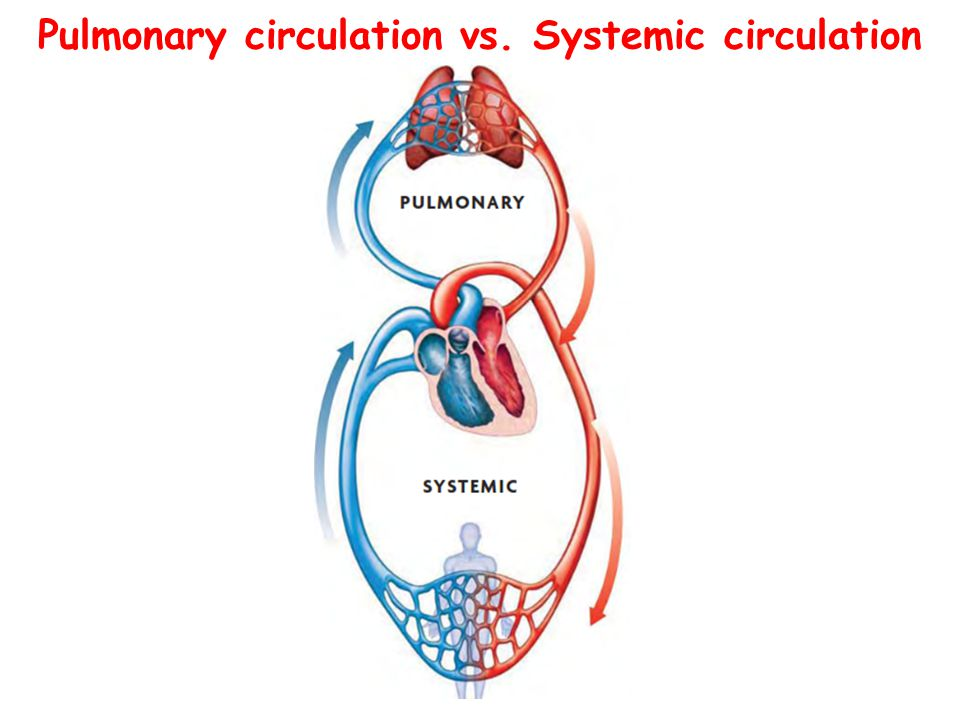 The circulatory system ppt download 9 pulmonary circulation vs systemic circulation ccuart Images