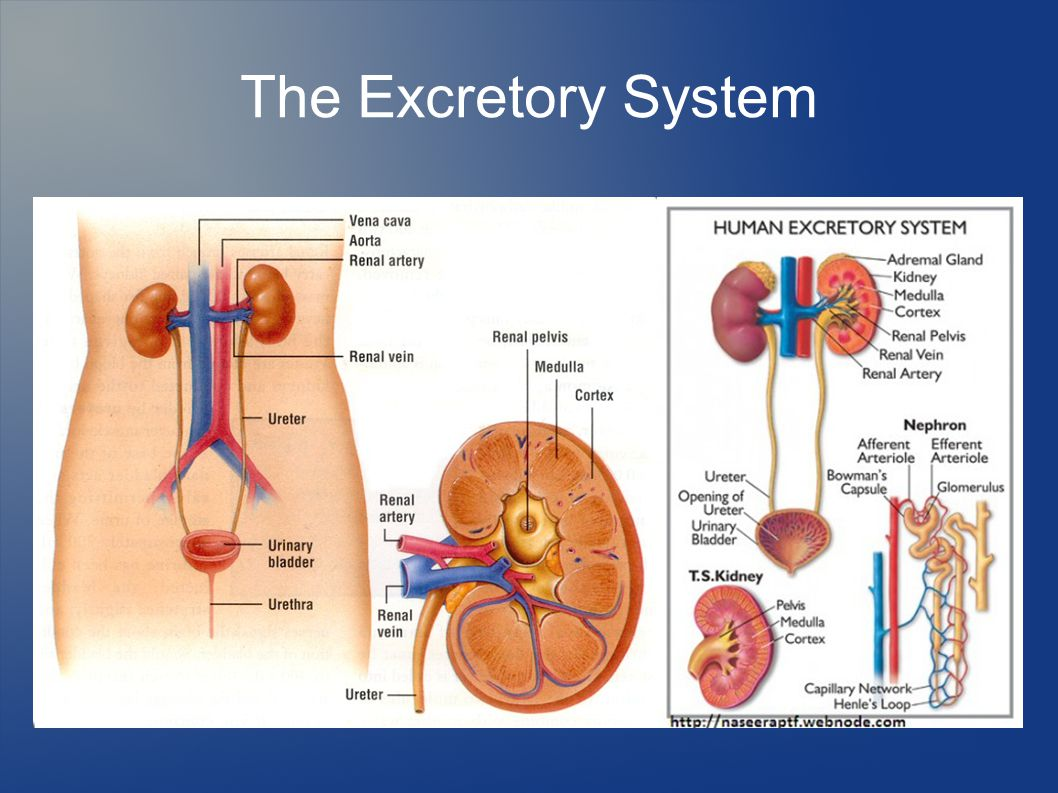 Human Excretion Structure Of Kidney besides What Is The Excretory System also Activity Structure Of The Human Excretory System as well Stock Illustration Structure Kidney Medical Vector Illustration Science Educational Material Image62166543 as well Ch 26lecturepresentation 39270761. on excretory system medulla