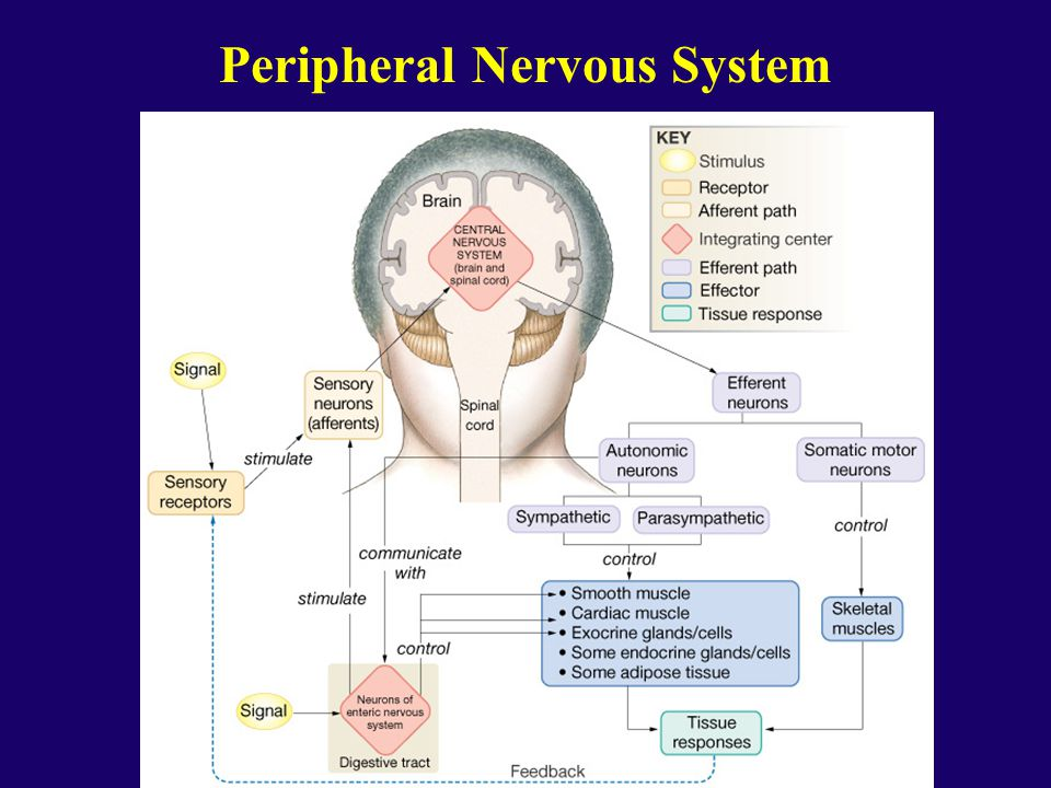 The Peripheral Nervous System - ppt download
