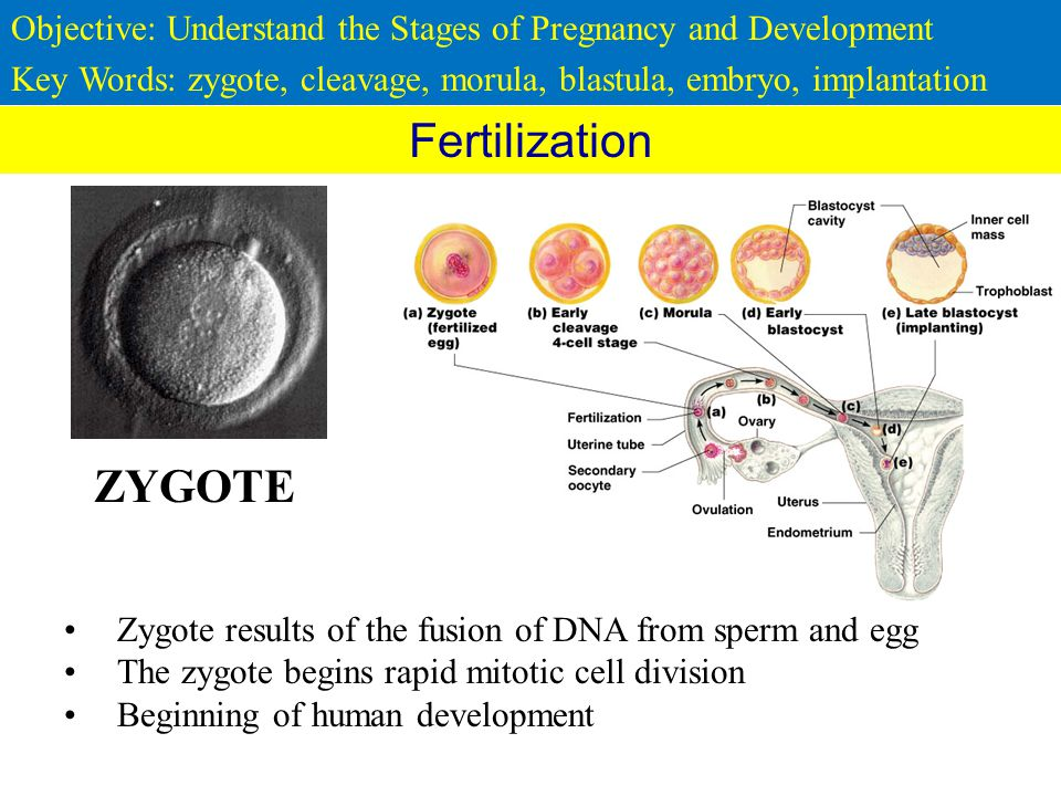 development of the human zygote The zygote has made its way under the influence of peristaltic movements of the uterine tube and of ciliary movements of the tube epithelium during its passage, the egg maintains itself on its own reserves, which are reduced since it is an alecithal egg, and on tubular secretions.