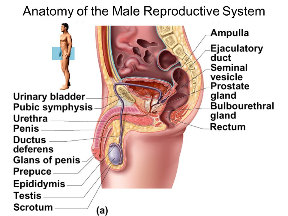 Anatomy of the Male Reproductive System - ppt video online download
