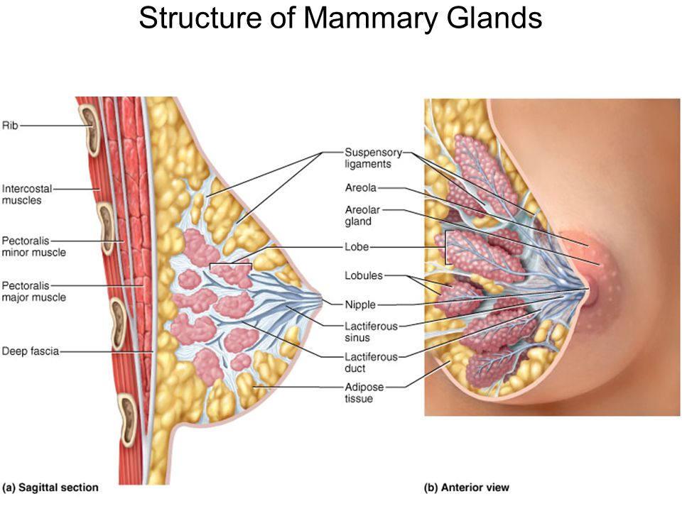 Contemporary Anatomy Of The Mammary Gland Component - Anatomy And ...
