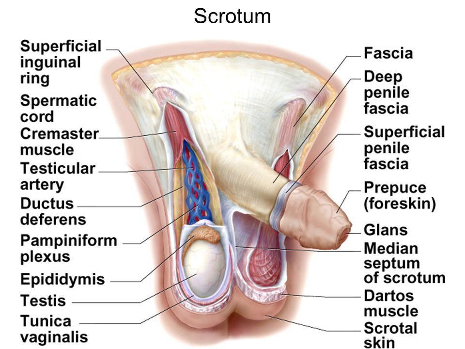 Beautiful Testicular Vascular Anatomy Ornament - Human Anatomy ...