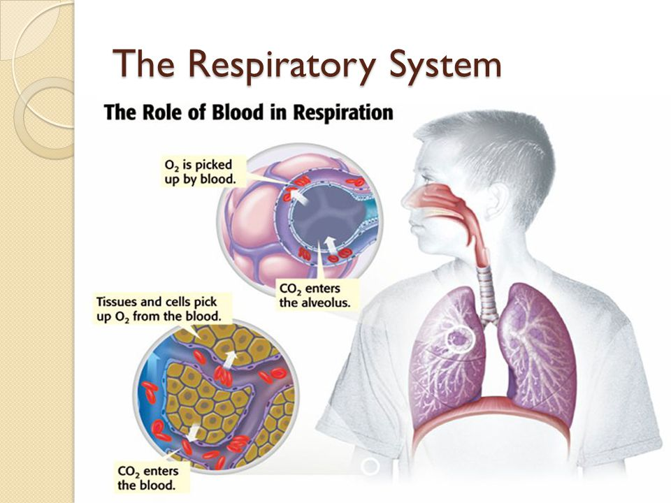 the respiratory and circulatory systems essay The respiratory system is a series of organs designed to facilitate the exchange of gases, mainly oxygen and carbon dioxide, between red blood cells in the circulatory system and the body's cells the cells in the body require a constant supply of oxygen (o2) and the ability to ventilate carbon dioxide (co2) produced by the cells away from them (wesson, k thompson, g, wiggins-james, n & hartigan, s.