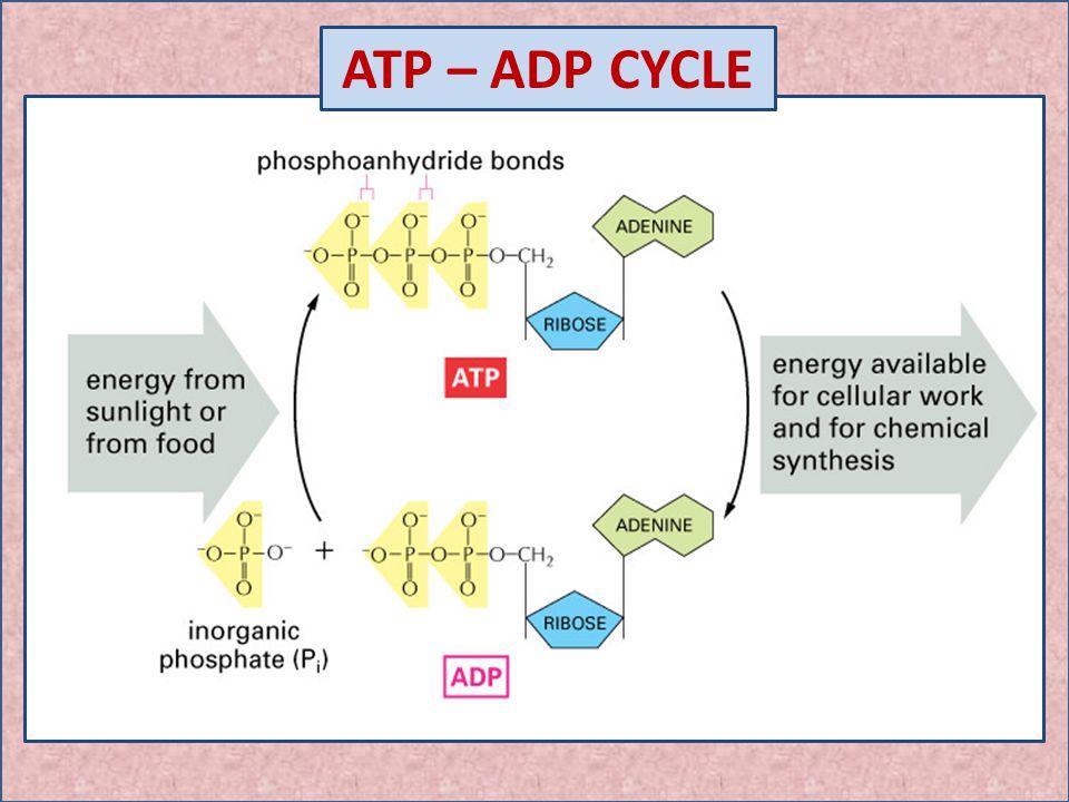 Atp Adp Cycle Diagram