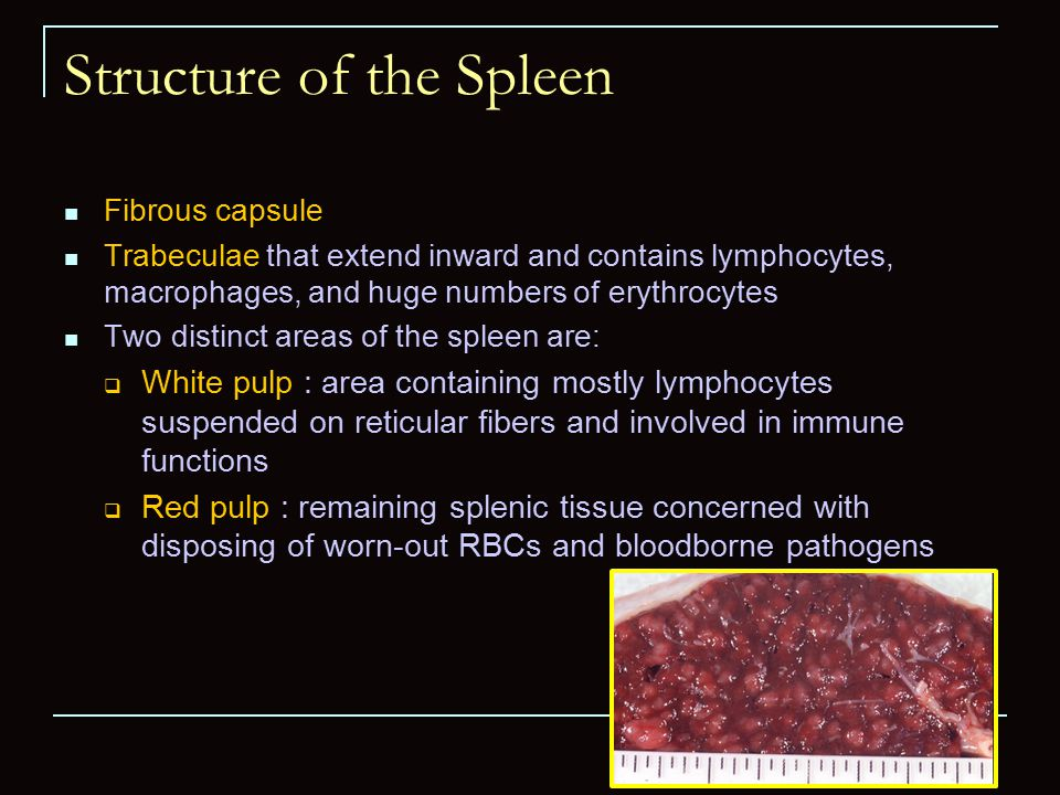 structure and function of the spleen essay Becker, aj, mcculloch, ea, till, jecytological demonstration of the clonal nature  of spleen colonies derived from transplanted marrow.