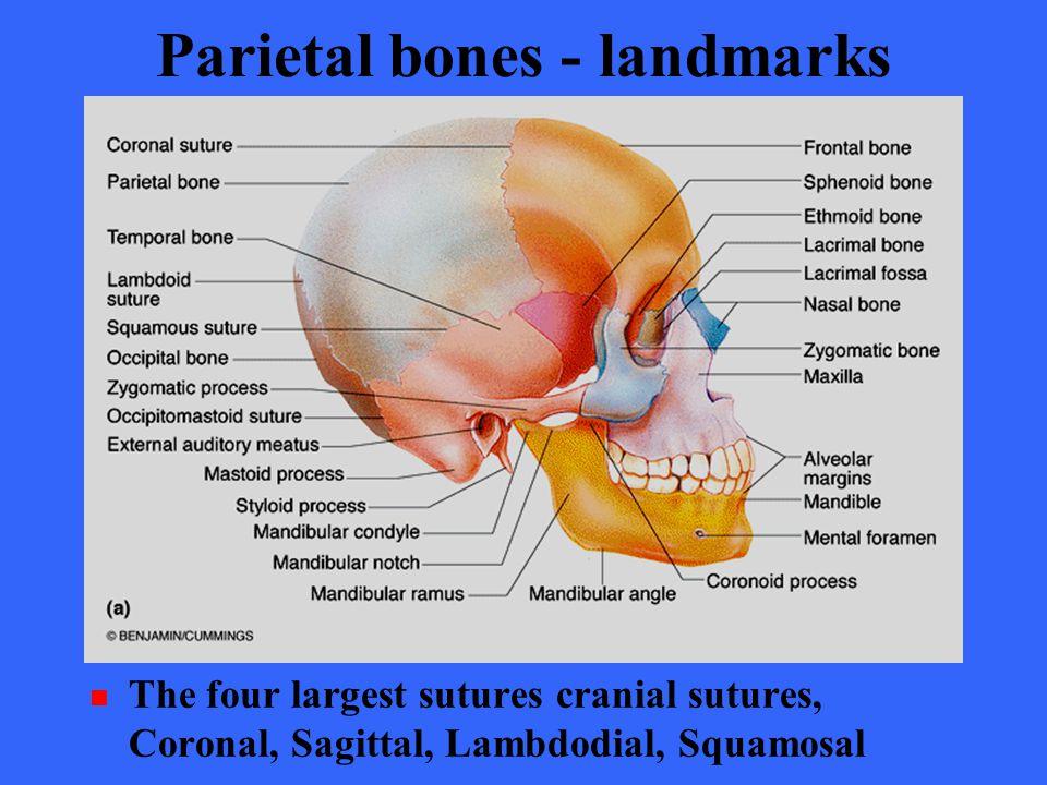 sagittal suture image