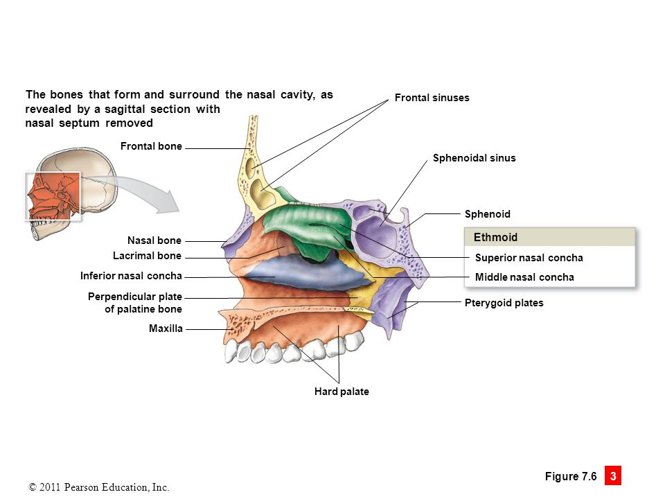 7 the skeleton ppt video online download for Floor of nasal cavity
